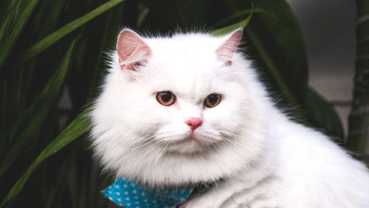 Rete Per Gatti Condominio consigli per l'igiene e la salute del gatto persiano